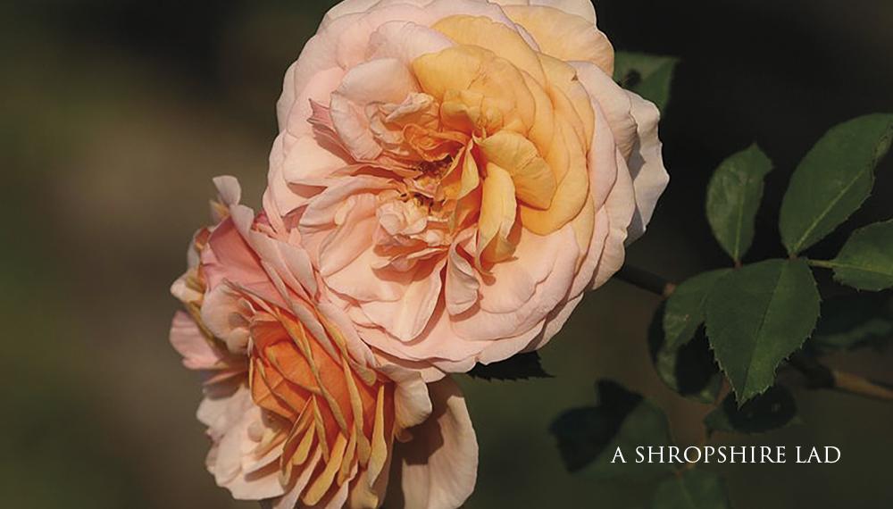 Růže A SHROPSHIRE LAD