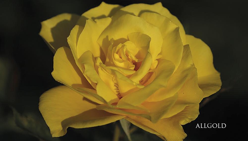 Růže Allgold