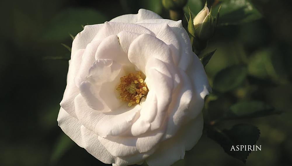 Růže Aspirin