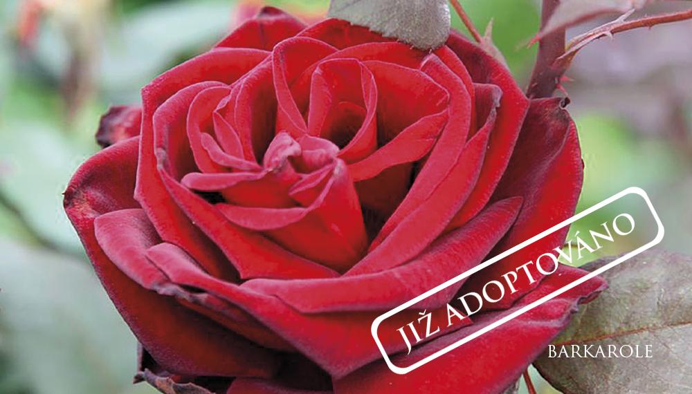 Růže Barkarole