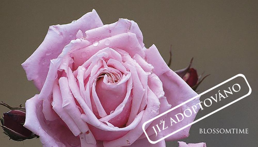 Růže Blossomtime