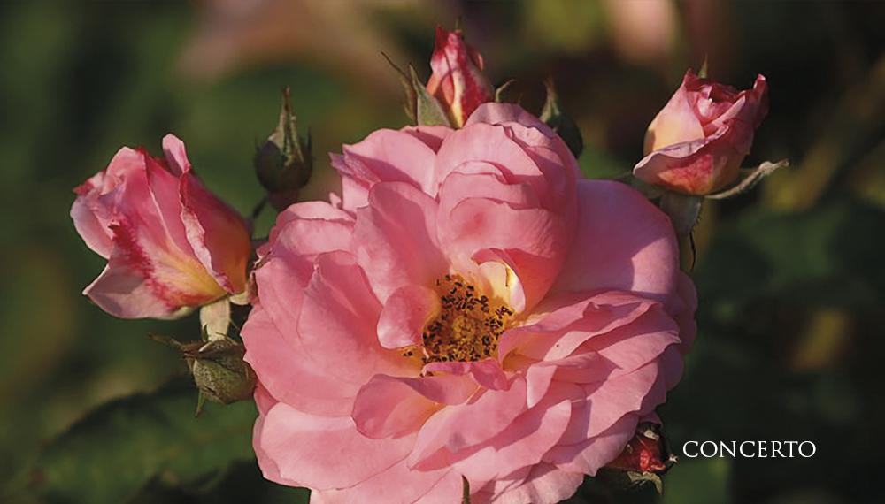Růže Concerto