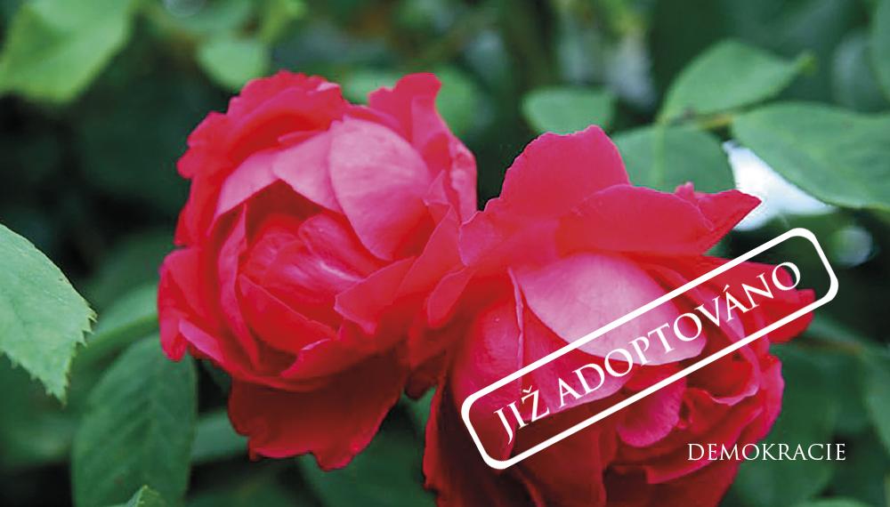 Růže Demokracie