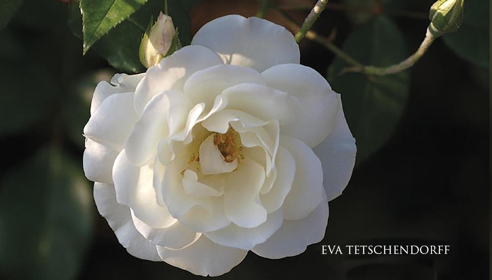 Růže EVA TETSCHENDORFF