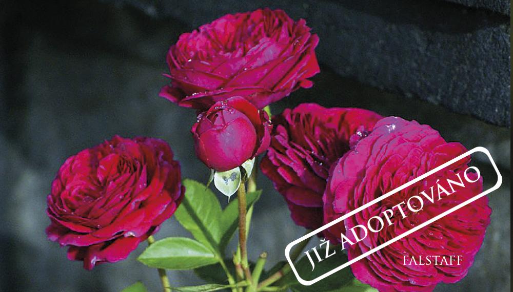 Růže Falstaff