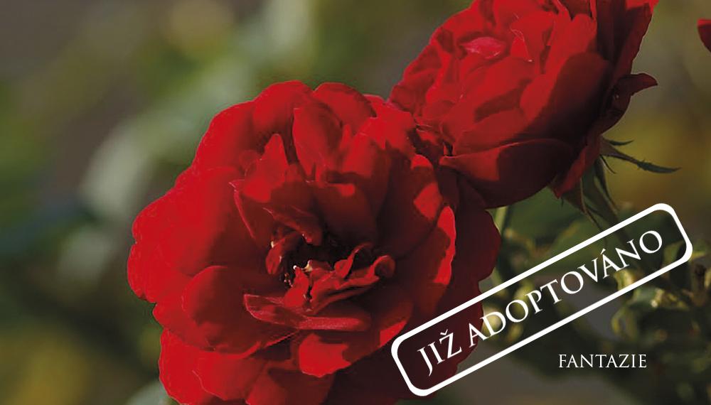 Růže Fantazie