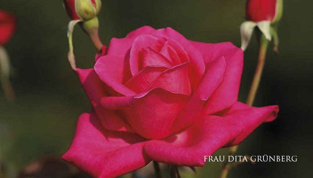 Růže Frau Dita Grünberg