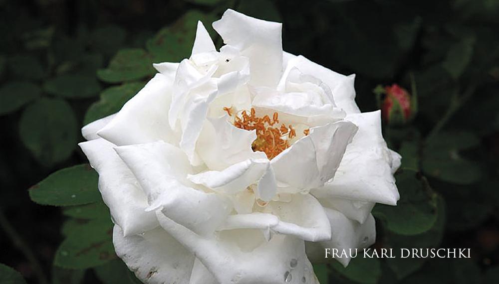 Růže FRAU KARL DRUSCHKI