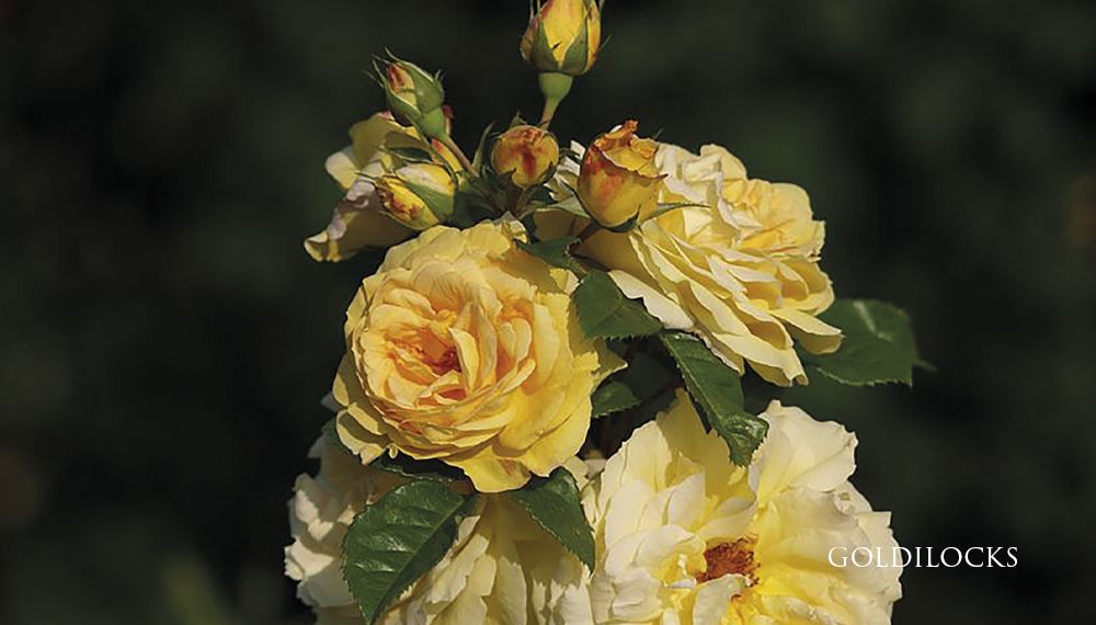 Růže Goldilocks