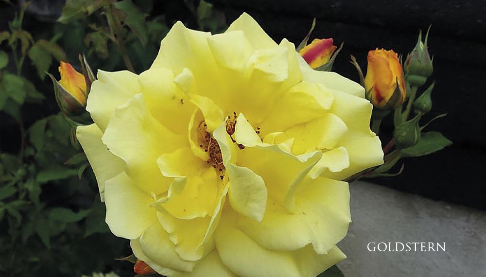 Růže Goldstern