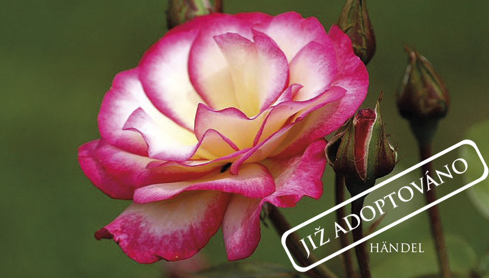 Růže Händel