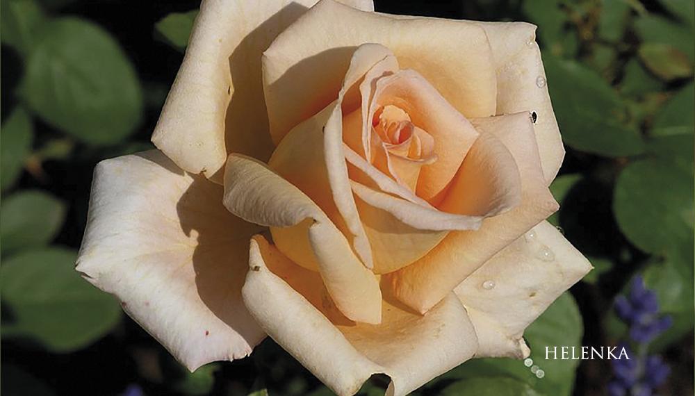 Růže Helenka
