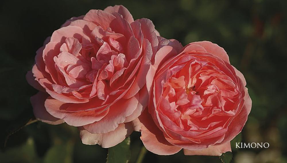 Růže Kimono