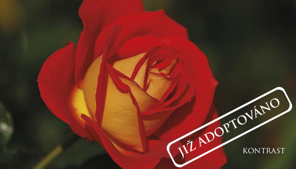 Růže Kontrast