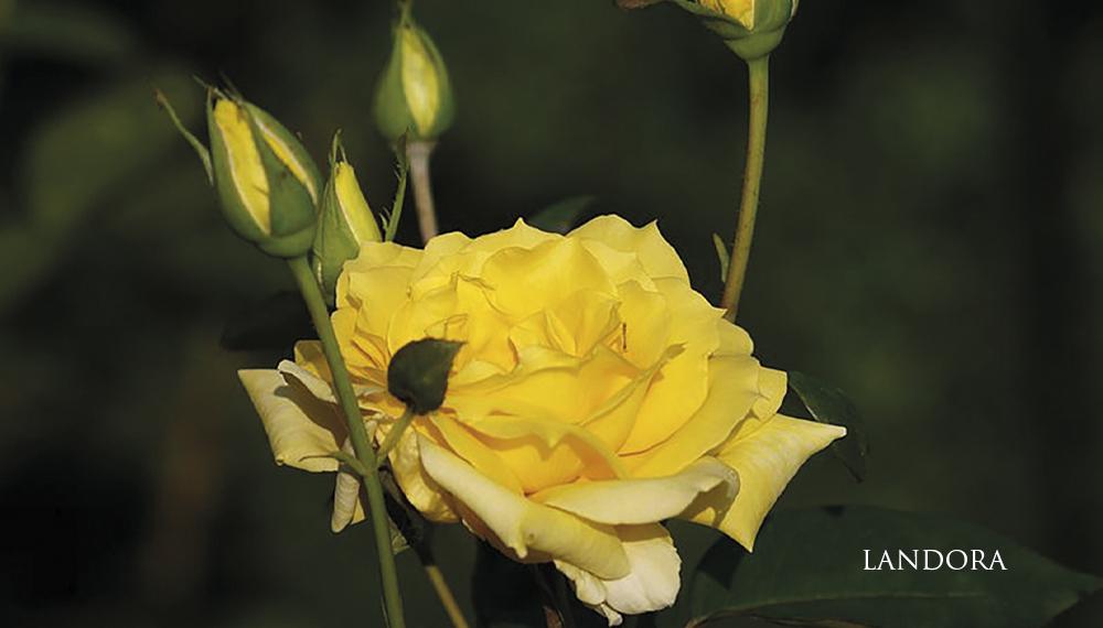 Růže Landora