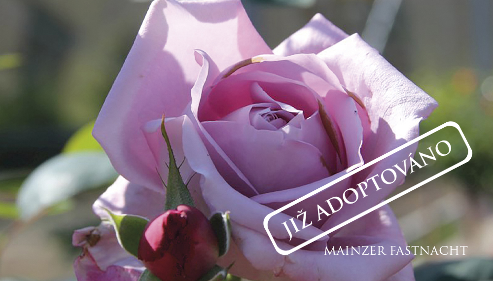 Růže Mainzer Fastnacht