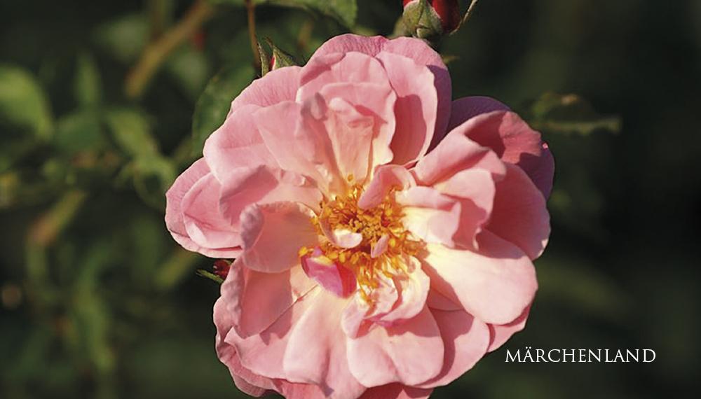 Růže Märchenland