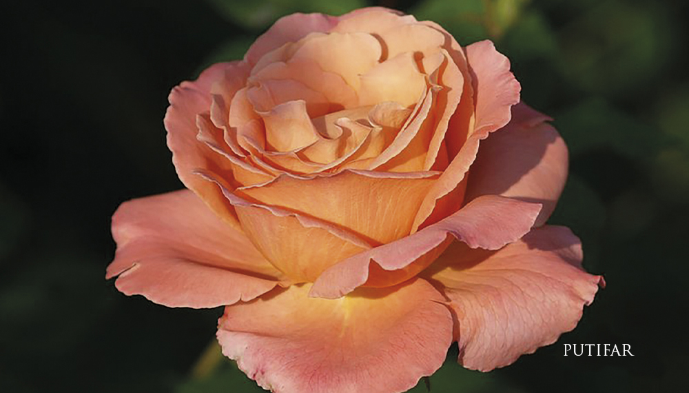 Růže PUTIFAR