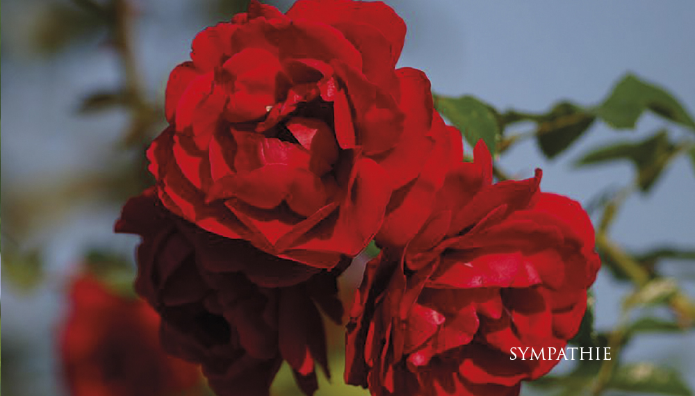 Růže Sympathie