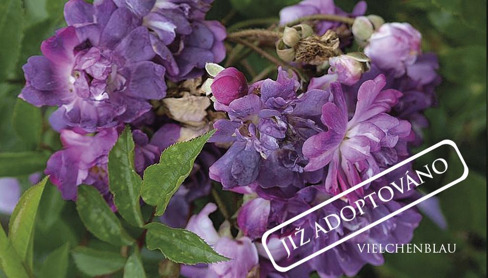 Růže Vielchenblau